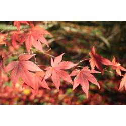 Acer palmatum Japonés - Sobre 20 semillas