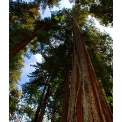 Sequoya roja - Sobre 15...