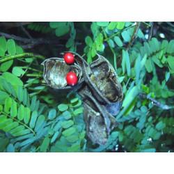 Abrus precatorius - 1 PLANTA