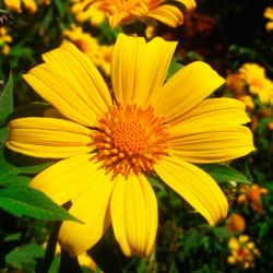 Tithonia diversifolia - Sobre de semillas