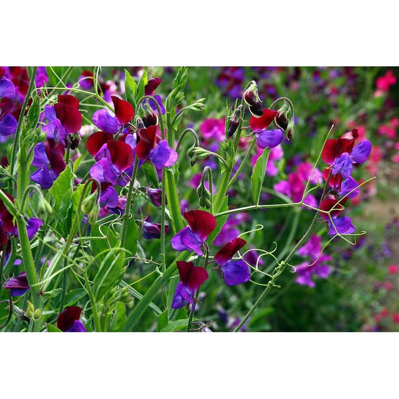 Guisante de olor 'Gigante mixto' - Sobre 30 semillas