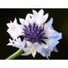 Azulejo 'Blanco' - Sobre 75 semillas
