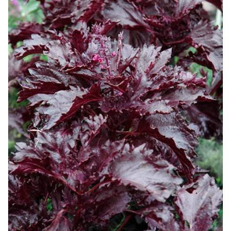 Albahaca 'Morada Rizada' - Sobre 100 semillas
