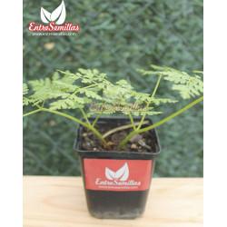 Mirra - 1 Planta