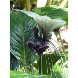 Flor murciélago blanca - 1 Bulbo