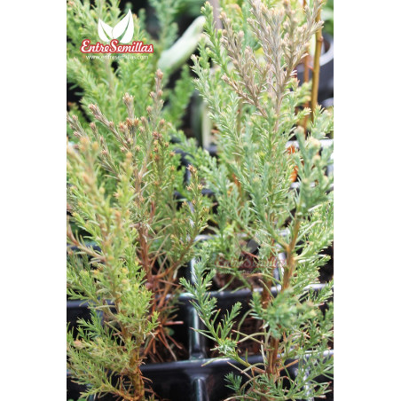 Sequoya gigante - 1 planta