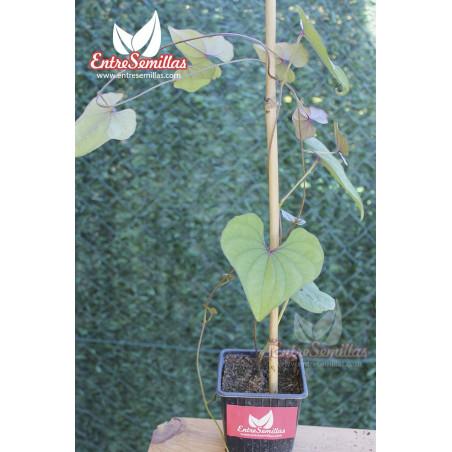 Dioscorea batatas - 1 tubérculo