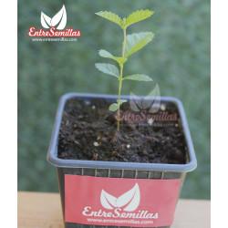 Olmo chino - 1 planta