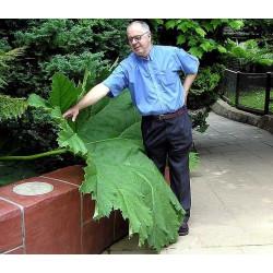 Ruibarbo Gigante - Sobre 25 semillas