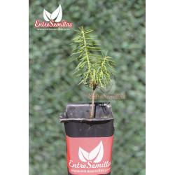 Pinsapo - 1 Planta
