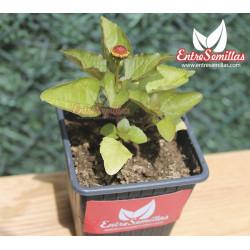 Flor eléctrica (Flor Roja) - Sobre 25 semillas