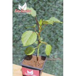 Flor de Jamaica - 1 planta