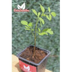 Moringa oleifera - 1 planta