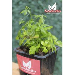 Jiaogulan - 1 Planta