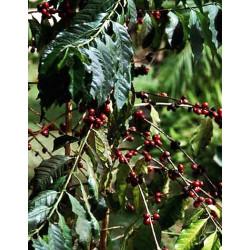 Café / Cafeto arábigo - Sobre 8 semillas