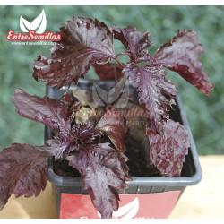 Perilla / Shiso (Rojo rizado) - Sobre 100 semillas