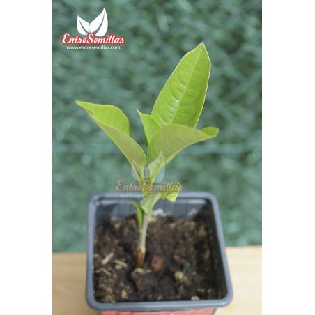 Baobab - 1 planta