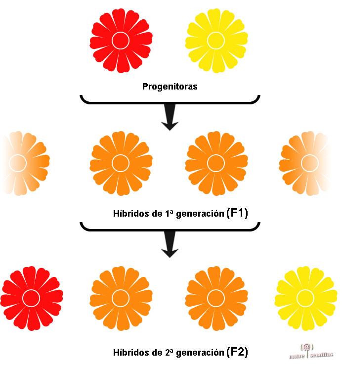 f1 semillas f1 hibridas qué es f1 semillas