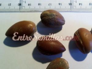 comprar semillas de argán