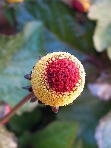 acmella oleracea flor eléctrica