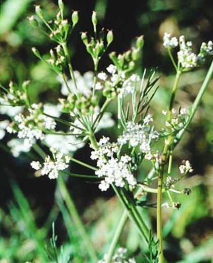 carum carvi semillas para sembrar