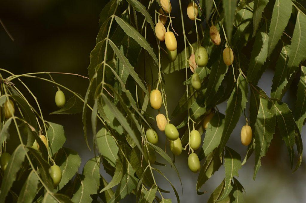 frutos del neem