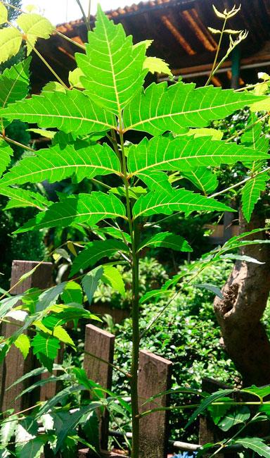 comprar neem árbol del neem