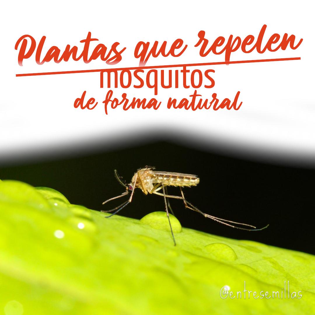 plantas que repelen mosquitos
