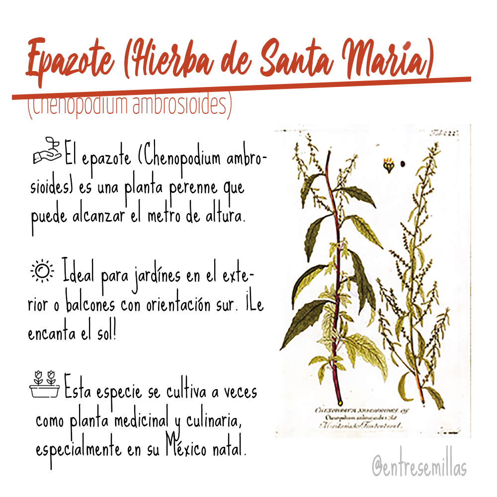 propiedades epazote hierba santa maria