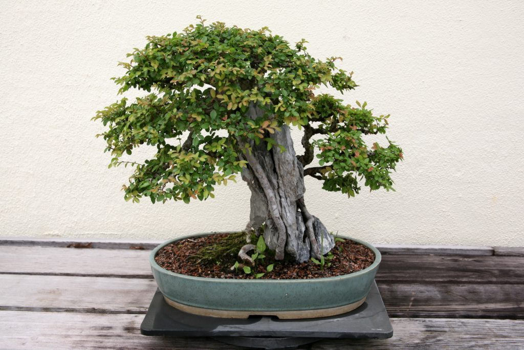 Chinese_Elm_(Ulmus_parvifolia)_(3563789088)