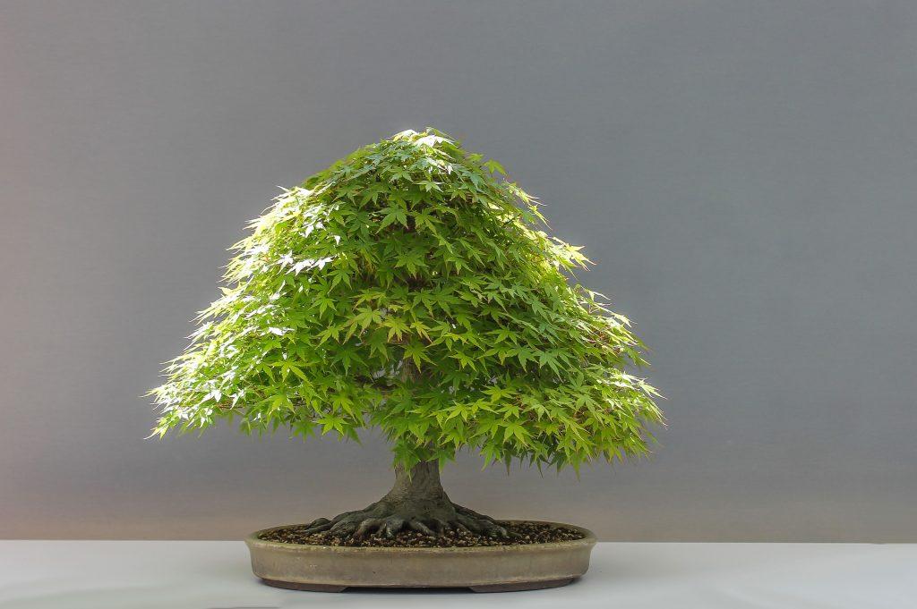 Casi cualquier árbol puede convertirse en un bonsái ¿lo sabías?