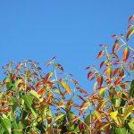 plantas de canela en españa