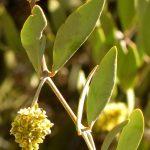 planta de jojoba