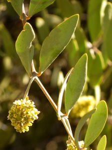 Jojoba_Staminate_Flowers_-_Flickr_-_treegrow_(3)