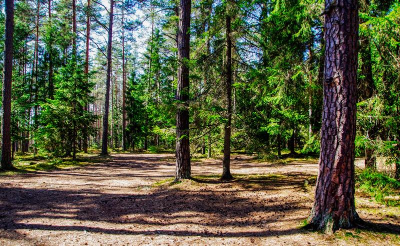 Esquejar y sembrar semillas de pinos y otras coníferas