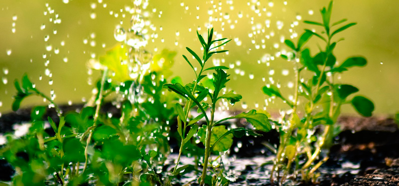 regar las plantas en una ola de calor
