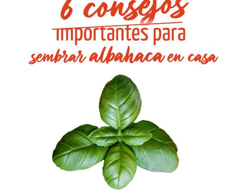 6 consejos importantes para sembrar albahaca en casa