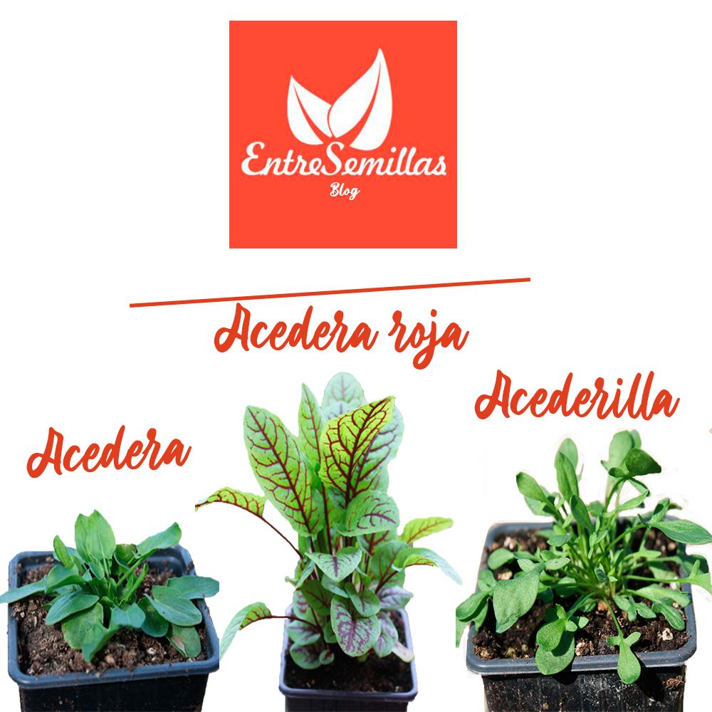 Plantas comestibles ideales para ensaladas: acedera común, acedera roja y acederilla
