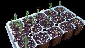 semillero albahaca sembrar albahaca en casa