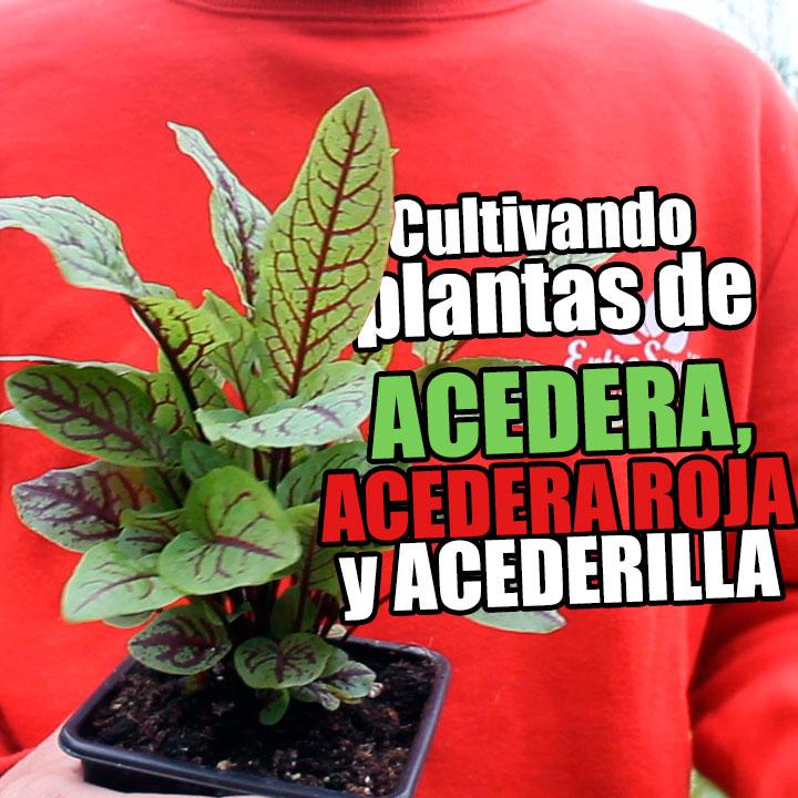 Plantas y hojas de acedera común, acedera roja sanguínea y acederilla desde semillas