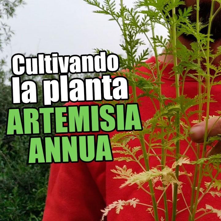 Cultivando plantas de Artemisia annua o Ajenjo dulce