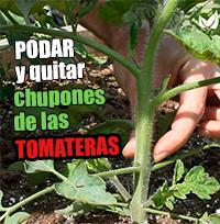 Podar y quitar chupones de las tomateras