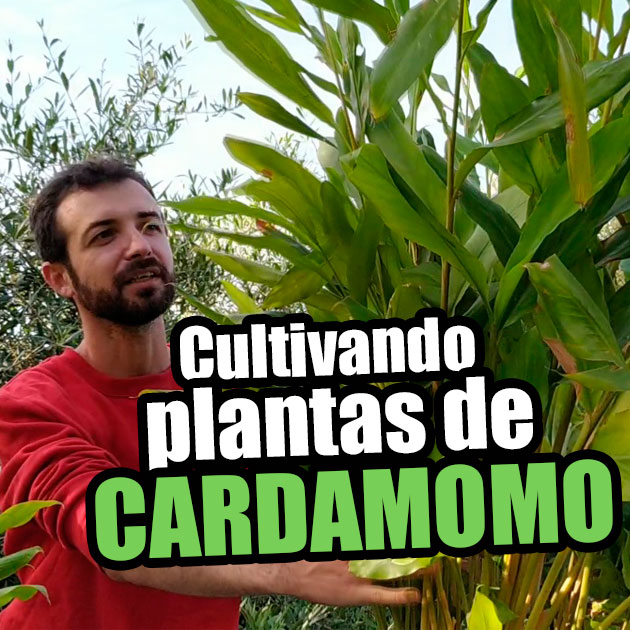 Cultivando plantas de Cardamomo (Elettaria cardamomum)