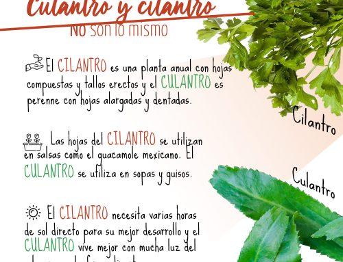 Diferencias entre Culantro y Cilantro. No son lo mismo.