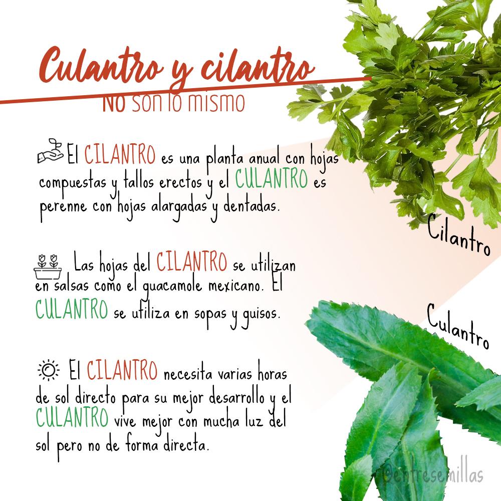 Diferencias entre Culantro y Cilantro. No son lo mismo
