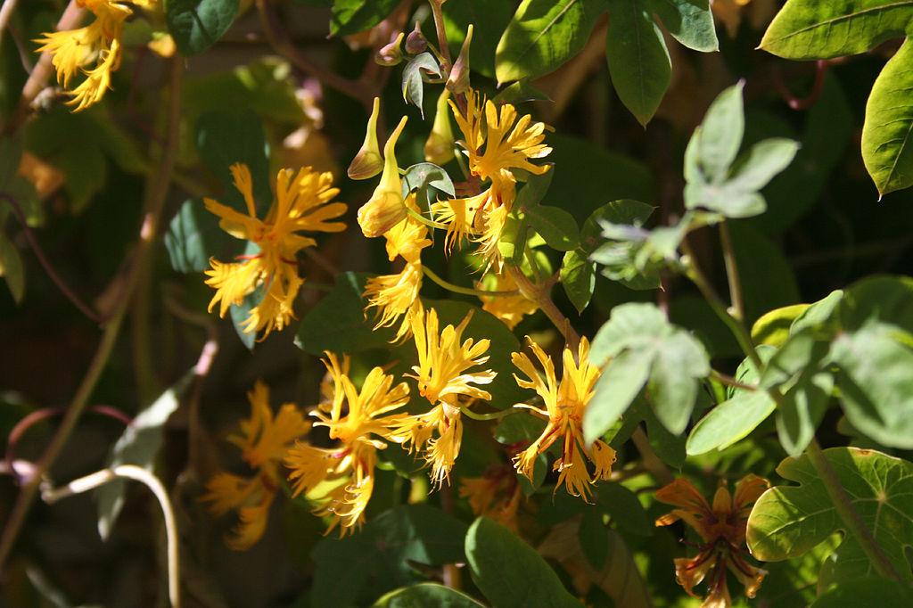 canarybird flower