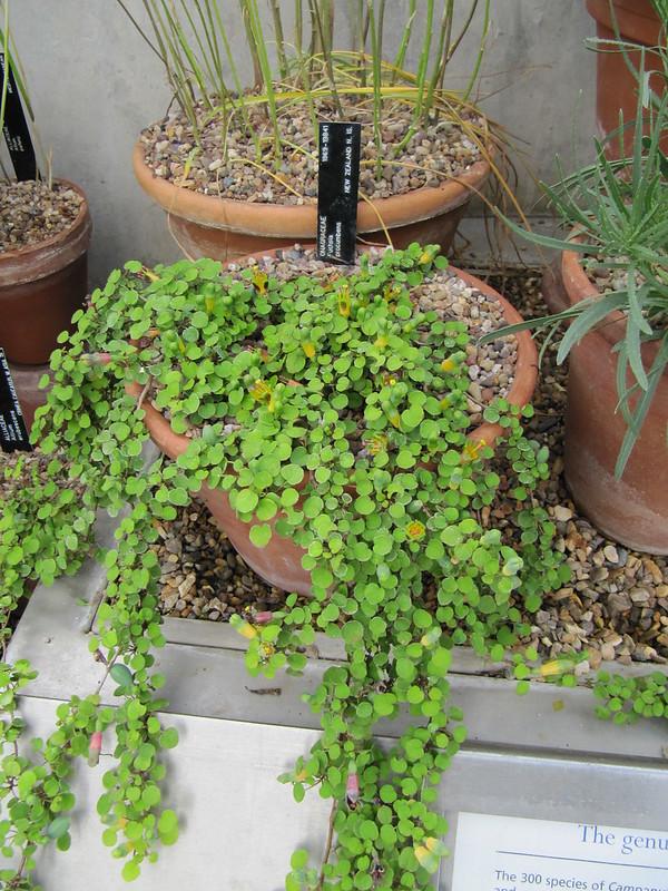 Fuchsia procumbens semillas