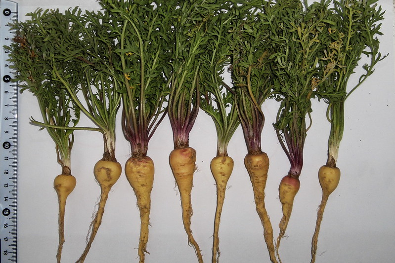 cómo sembrar y cultivar maca