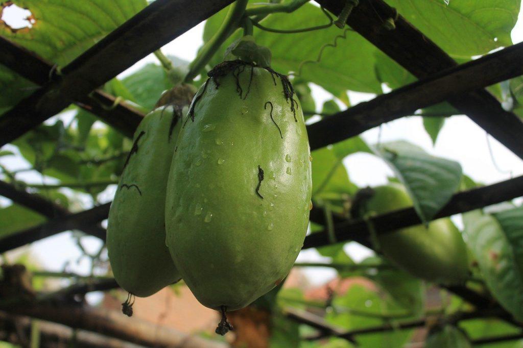 Pasiflora gigante (Passiflora quadrangularis)