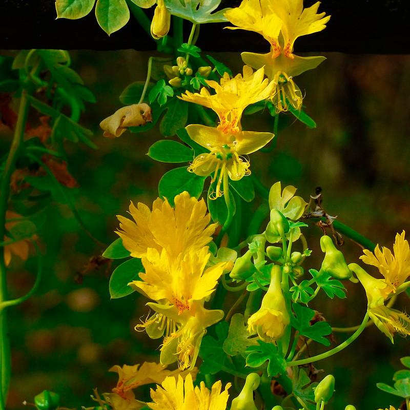 trepadoras con flores canary creeper seeds
